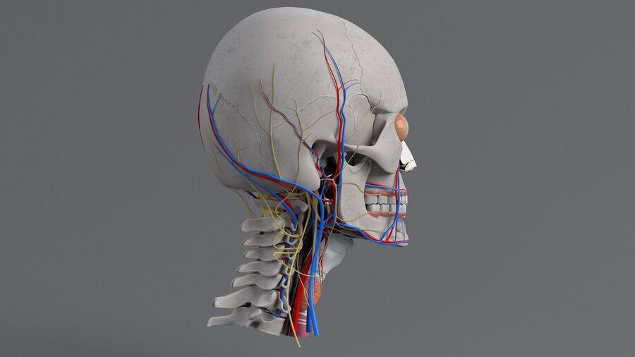 人間の頭の解剖学 royalty-free 3d model - Preview no. 17