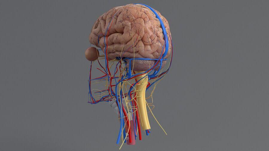 人間の頭の解剖学 royalty-free 3d model - Preview no. 26