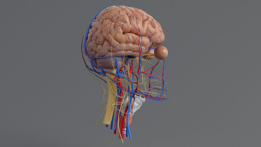 人間の頭の解剖学 royalty-free 3d model - Preview no. 24