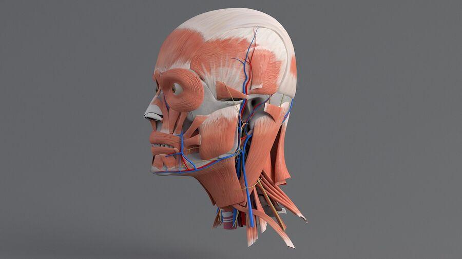 人間の頭の解剖学 royalty-free 3d model - Preview no. 13