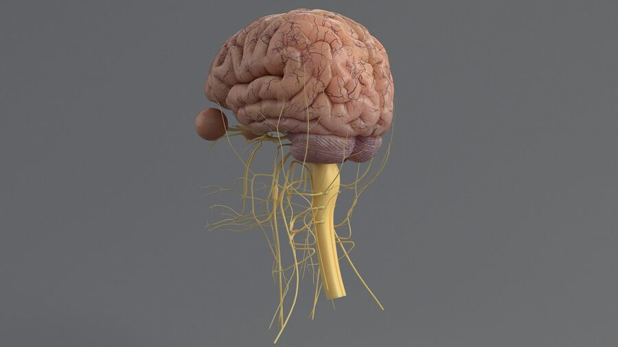 人間の頭の解剖学 royalty-free 3d model - Preview no. 32