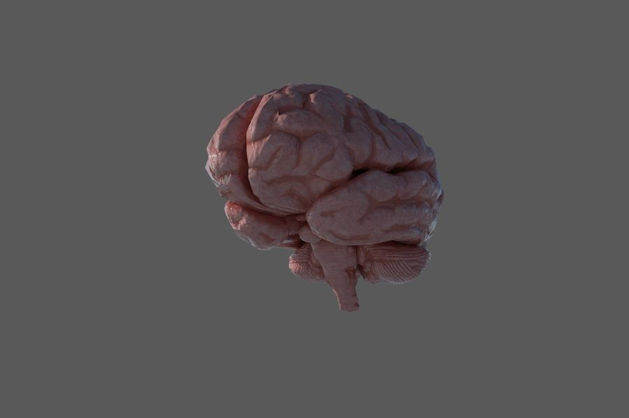Low Poly Human Brain Anatomy PBR royalty-free 3d model - Preview no. 4
