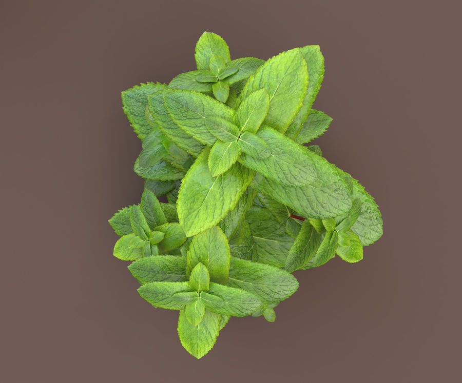 mint herb plants royalty-free 3d model - Preview no. 12