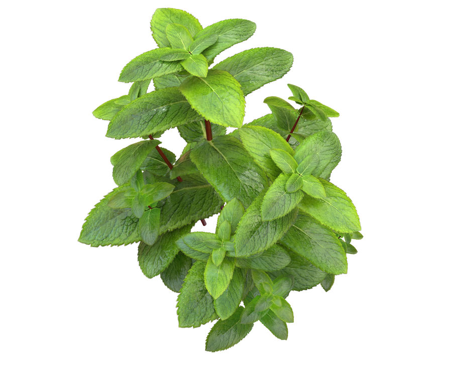 mint herb plants royalty-free 3d model - Preview no. 1