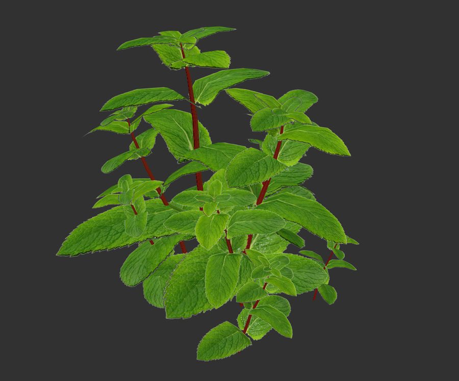 mint herb plants royalty-free 3d model - Preview no. 9