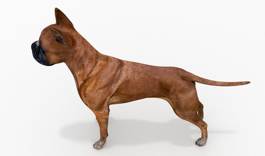 German Boxer Dog royalty-free 3d model - Preview no. 6