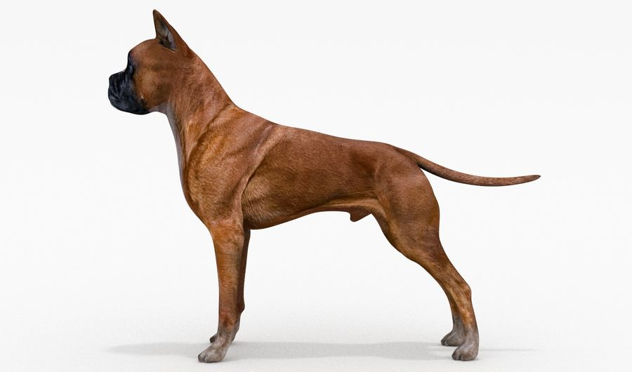 German Boxer Dog royalty-free 3d model - Preview no. 11