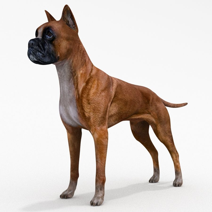 German Boxer Dog royalty-free 3d model - Preview no. 1