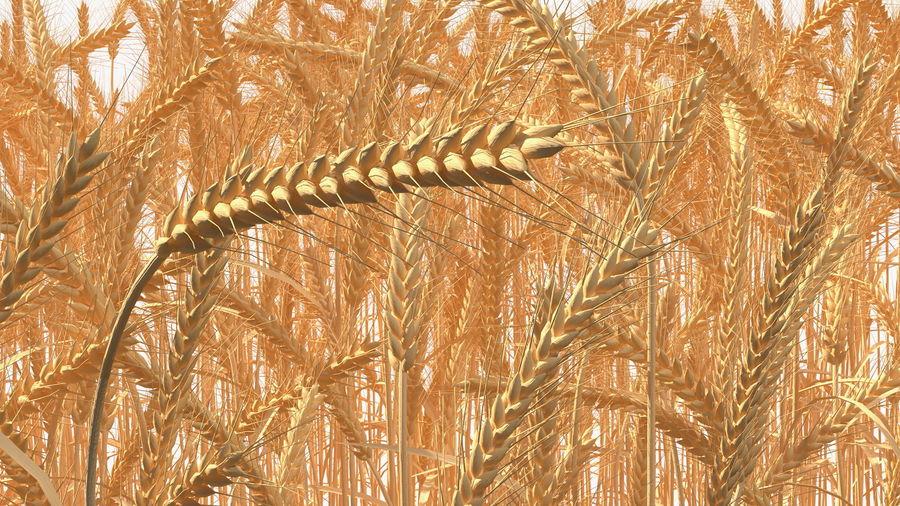 Buğday Tarlası Bölümü royalty-free 3d model - Preview no. 16