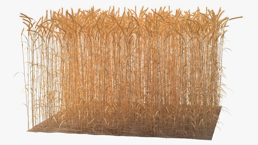 Buğday Tarlası Bölümü royalty-free 3d model - Preview no. 10