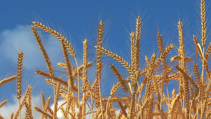 Buğday Tarlası Bölümü royalty-free 3d model - Preview no. 4