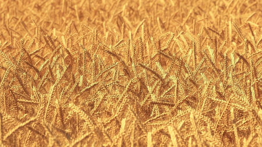 Buğday Tarlası Bölümü royalty-free 3d model - Preview no. 8