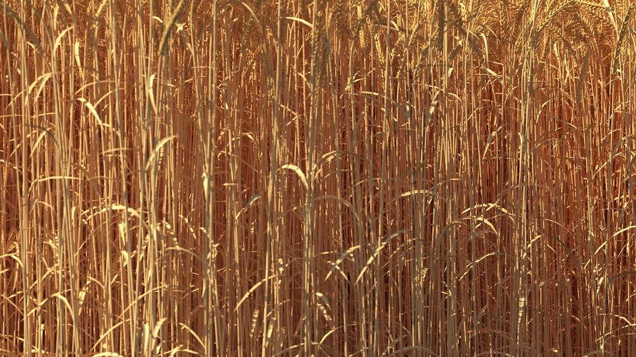 Buğday Tarlası Bölümü royalty-free 3d model - Preview no. 9
