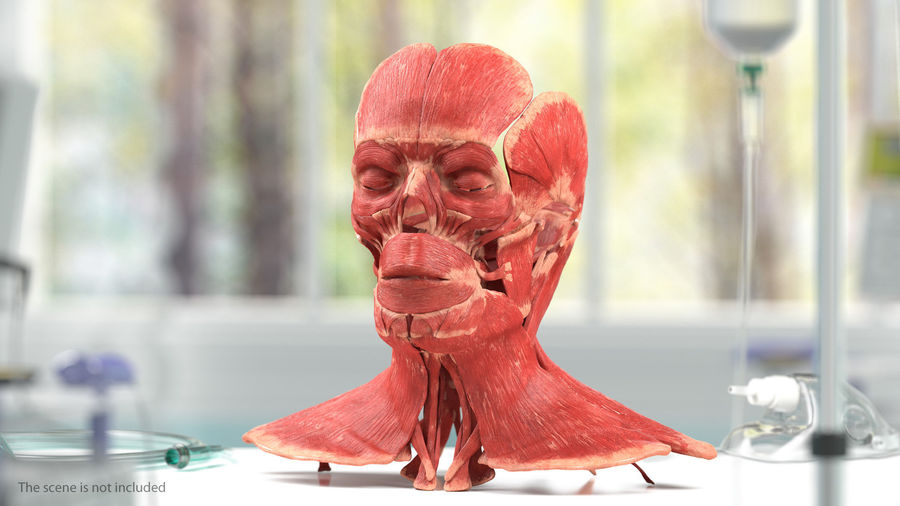 Male Body Anatomy Collection(1) royalty-free 3d model - Preview no. 17