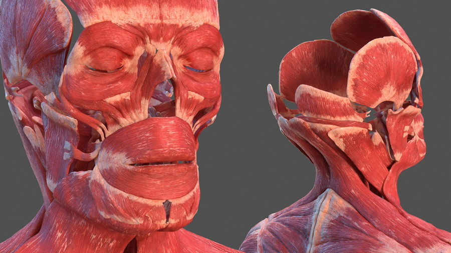 Male Body Anatomy Collection(1) royalty-free 3d model - Preview no. 28