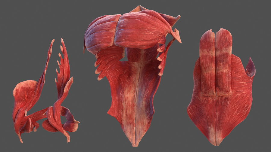 Male Body Anatomy Collection(1) royalty-free 3d model - Preview no. 31