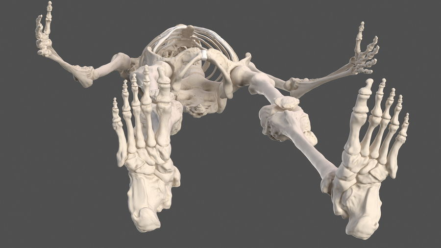 Male Body Anatomy Collection(1) royalty-free 3d model - Preview no. 53