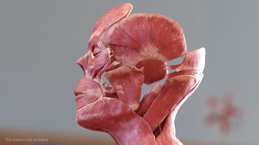 Male Body Anatomy Collection(1) royalty-free 3d model - Preview no. 27