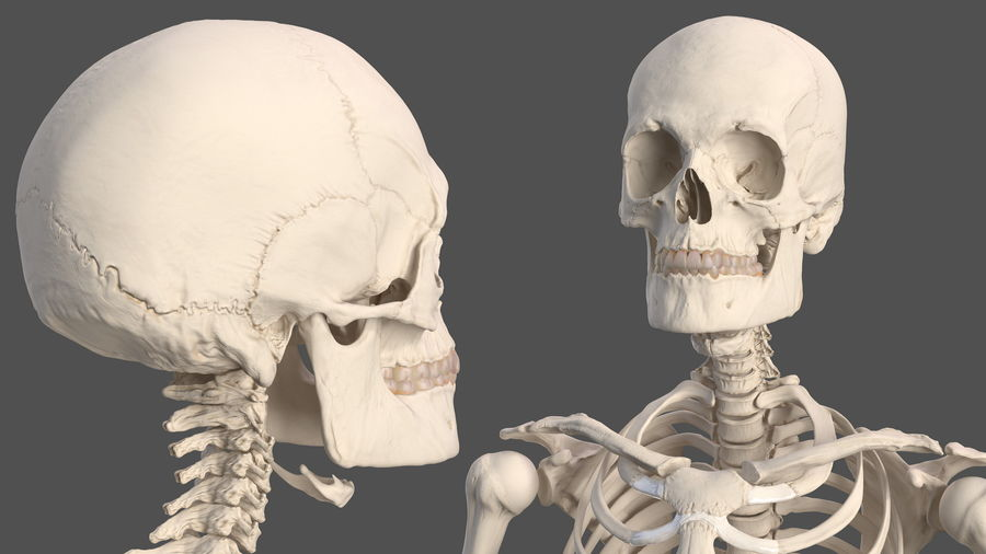 Male Body Anatomy Collection(1) royalty-free 3d model - Preview no. 43
