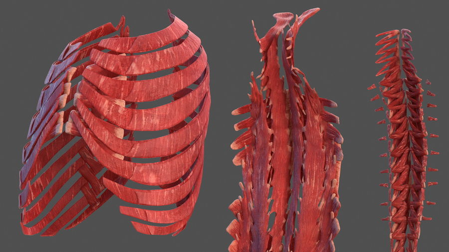 Male Body Anatomy Collection(1) royalty-free 3d model - Preview no. 30