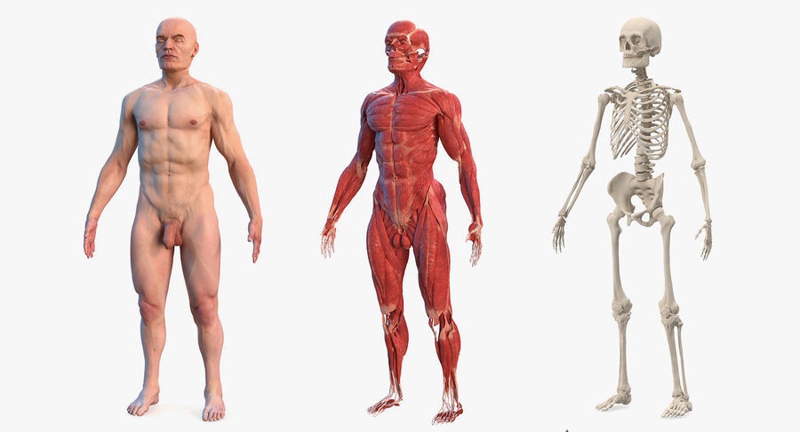 Male Body Anatomy Collection(1) royalty-free 3d model - Preview no. 2