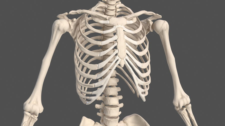 Male Body Anatomy Collection(1) royalty-free 3d model - Preview no. 45