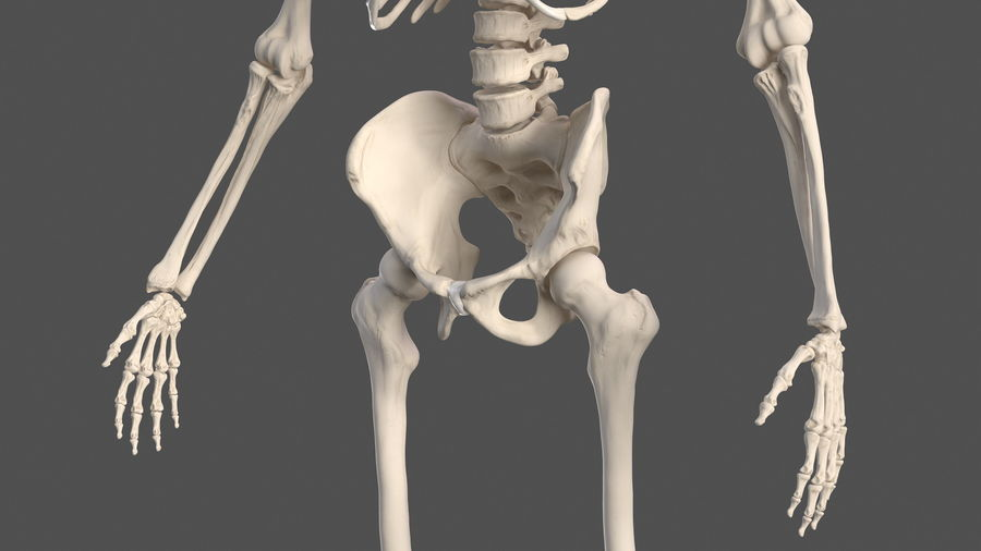 Male Body Anatomy Collection(1) royalty-free 3d model - Preview no. 46