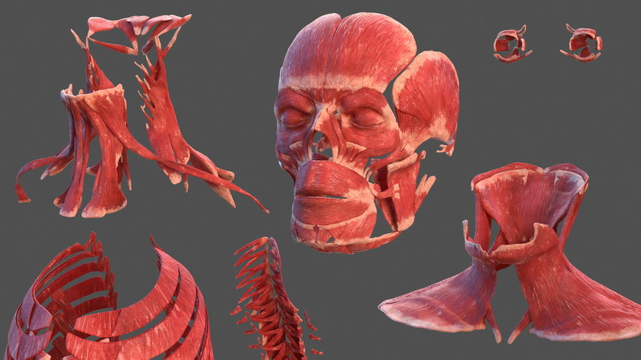 Male Body Anatomy Collection(1) royalty-free 3d model - Preview no. 26