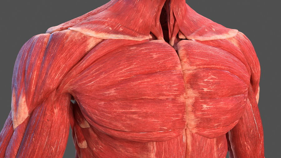 Male Body Anatomy Collection(1) royalty-free 3d model - Preview no. 29