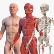 Male Body Anatomy Collection(1) 3d model