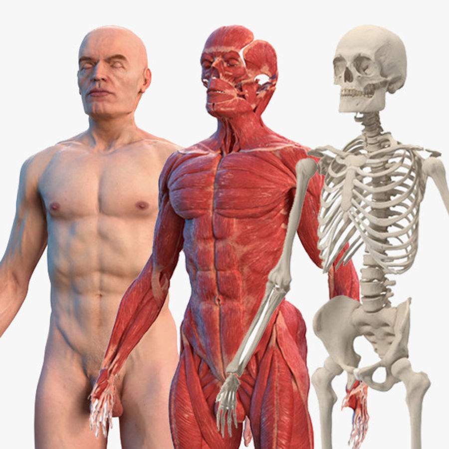 Male Body Anatomy Collection(1) royalty-free 3d model - Preview no. 1