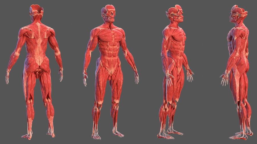 Male Body Anatomy Collection(1) royalty-free 3d model - Preview no. 16