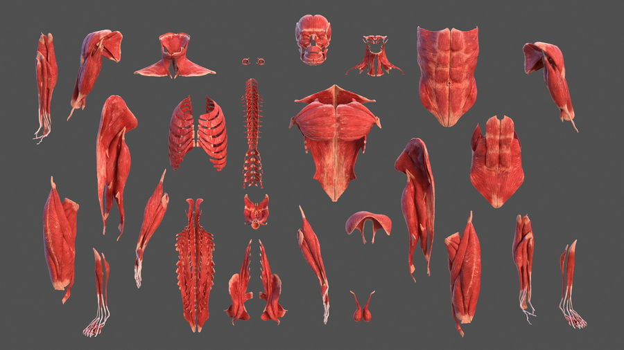 Male Body Anatomy Collection(1) royalty-free 3d model - Preview no. 24
