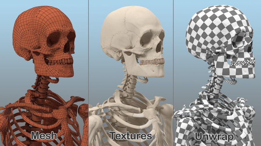 Male Body Anatomy Collection(1) royalty-free 3d model - Preview no. 40