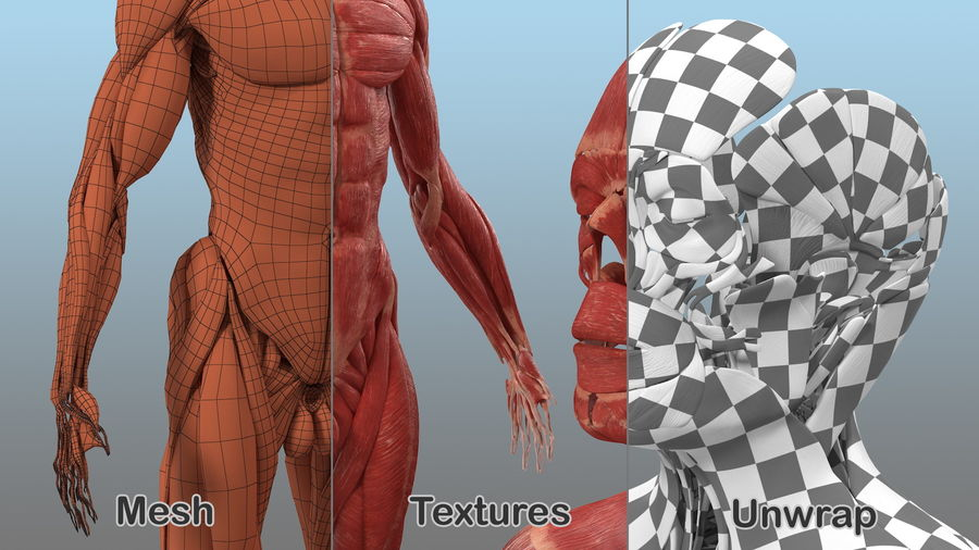 Male Body Anatomy Collection(1) royalty-free 3d model - Preview no. 23