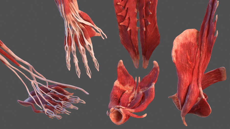 Male Body Anatomy Collection(1) royalty-free 3d model - Preview no. 32