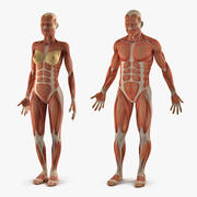 Erkek ve Kadın Kas Sistemi Anatomi Koleksiyonu 3d model