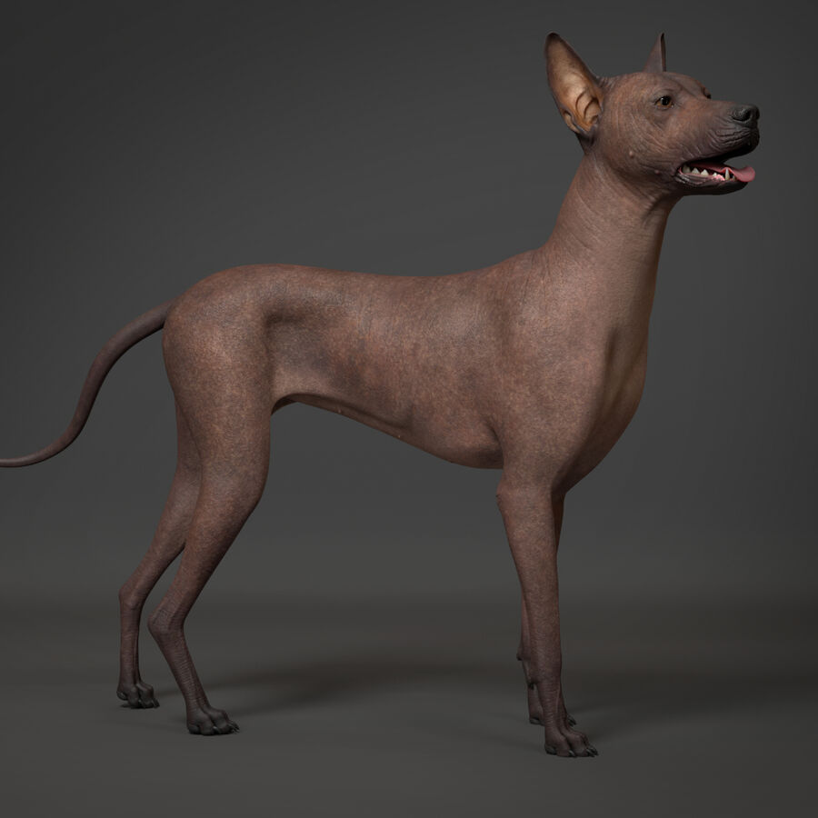 Meksikalı Tüysüz Köpek royalty-free 3d model - Preview no. 1