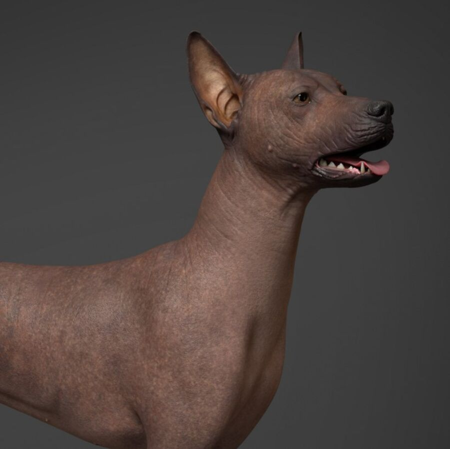 Meksikalı Tüysüz Köpek royalty-free 3d model - Preview no. 2