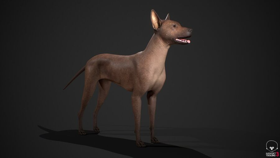 Meksikalı Tüysüz Köpek royalty-free 3d model - Preview no. 5