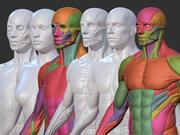 Manlig kvinnlig anatomi ecorche 3d model