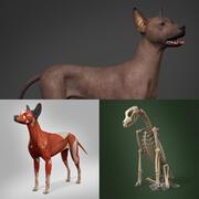 Modello anatomico completo di cane senza peli messicano 3d model