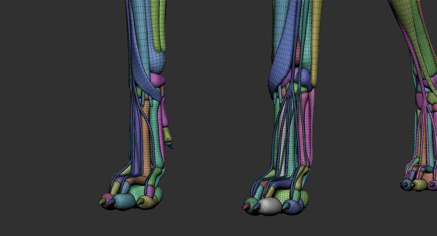 Meksikalı Tüysüz Köpek Tam Anatomi Modeli royalty-free 3d model - Preview no. 43