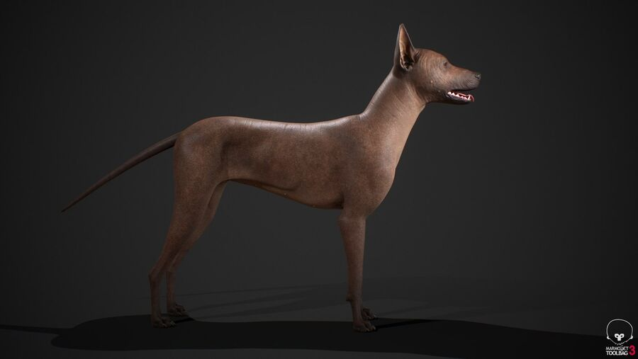 Meksikalı Tüysüz Köpek Tam Anatomi Modeli royalty-free 3d model - Preview no. 7
