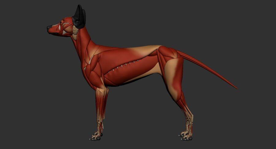Meksikalı Tüysüz Köpek Tam Anatomi Modeli royalty-free 3d model - Preview no. 35