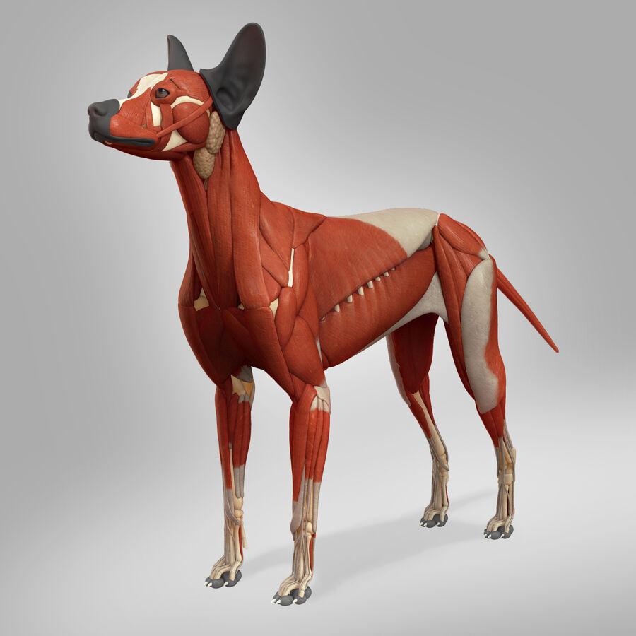 Meksikalı Tüysüz Köpek Tam Anatomi Modeli royalty-free 3d model - Preview no. 12