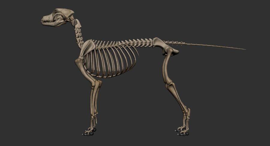Meksikalı Tüysüz Köpek Tam Anatomi Modeli royalty-free 3d model - Preview no. 46