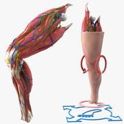 膝の人体解剖学 3d model