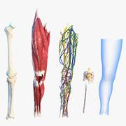 Анатомия коленного сустава человека, приспособленная для Maya 3d model