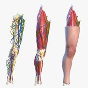 Ginocchio anatomico umano attrezzato per Modo 3d model